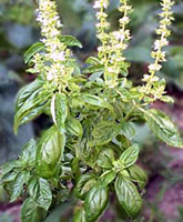 basil leaves in hindi - DriverLayer Search Engine